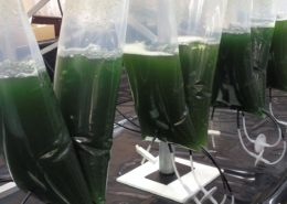 Modified Microalgae Converts Sunlight Into Valuable Medicine - Health Council