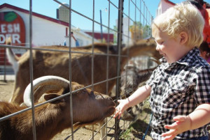 boy feeding goat