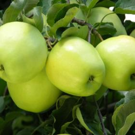 history of Gingergold apples