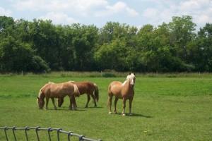 Apple Holler's Halflinger Horses