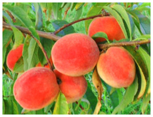 Apple Holler's Peaches and Cream Farm Tour