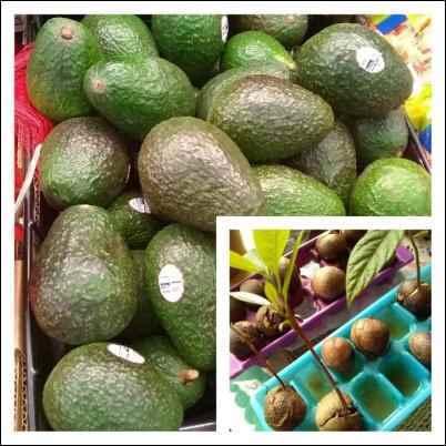 regrow avocado