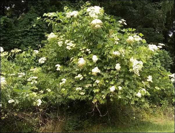 elderberry bush edible landscaping