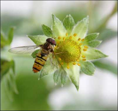 Hoverfly beneficial bugs