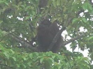 orangutan kinabatagan