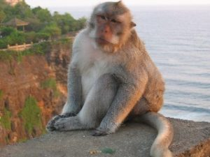 Balinese Macaques