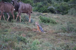 Jackal and Kudu