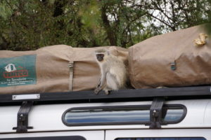 Monkey on Car