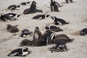 Jackass Penguins at Boulder Beach