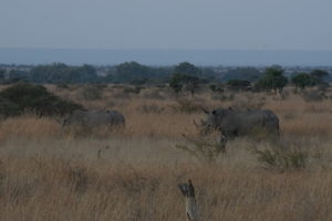 Rhinos on the Mananga Trail