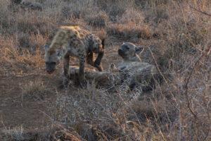 Hyena Family