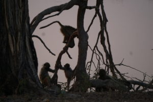 Baboons at Horseshoe Lagoon
