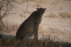Cheetah in Etosha