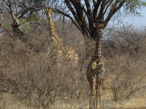 Baby Giraffe Stevensford