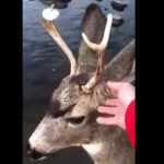 deer donut