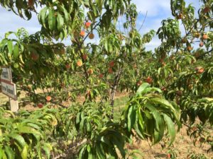 Harrow Diamond peach tree
