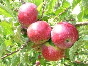 Empire apples hanging on a tree