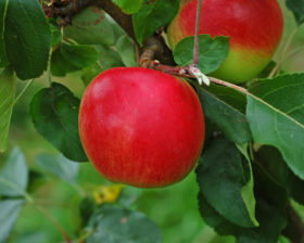 Red free apple
