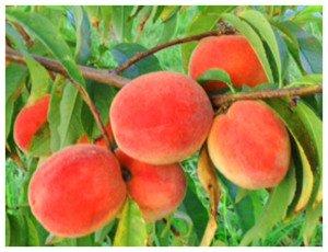 Peaches crop on tree