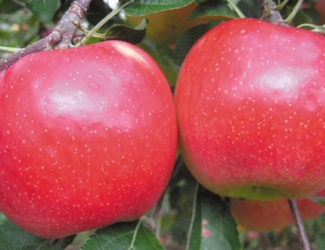 Autumn Crisp grown at Apple Holler