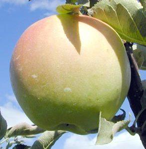 Apple Holler Shizuka Apple