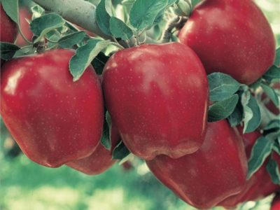 Apple Holler Red Delicious