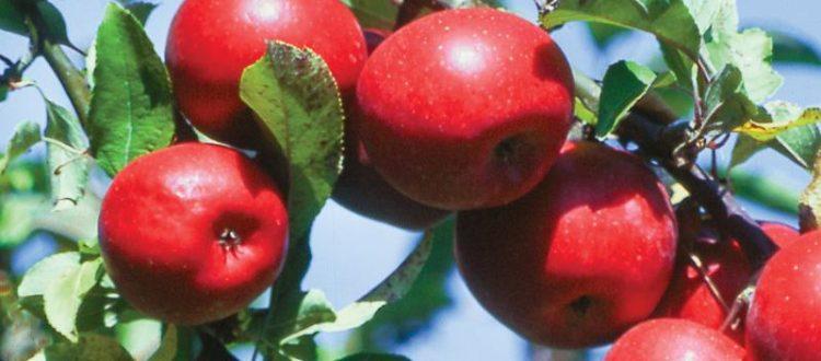 Apple Holler Rome Beauties