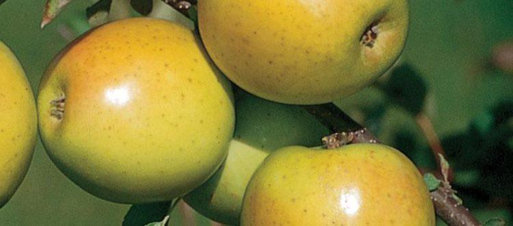 Apple Holler Gold Rush Apple