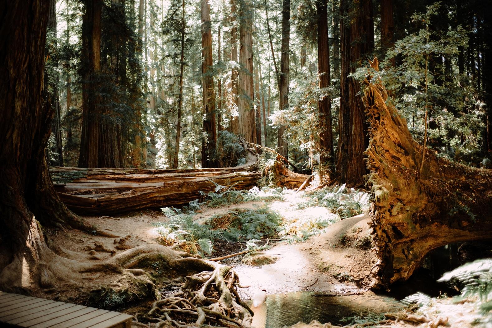 redwood-forest-elopement-0002