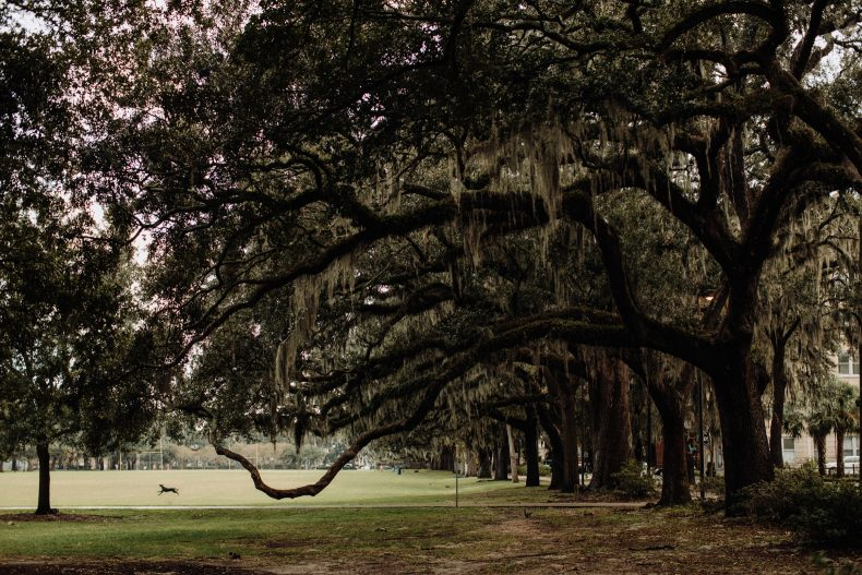 dog leaping the open field under spanish moss trees