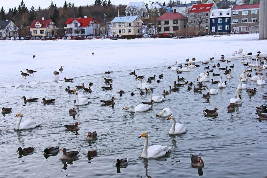 Tjörnin, places to visit in Reykjavík to see birds
