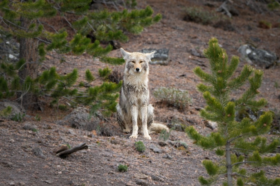 colub coyeto wolf things to do in yellowstone