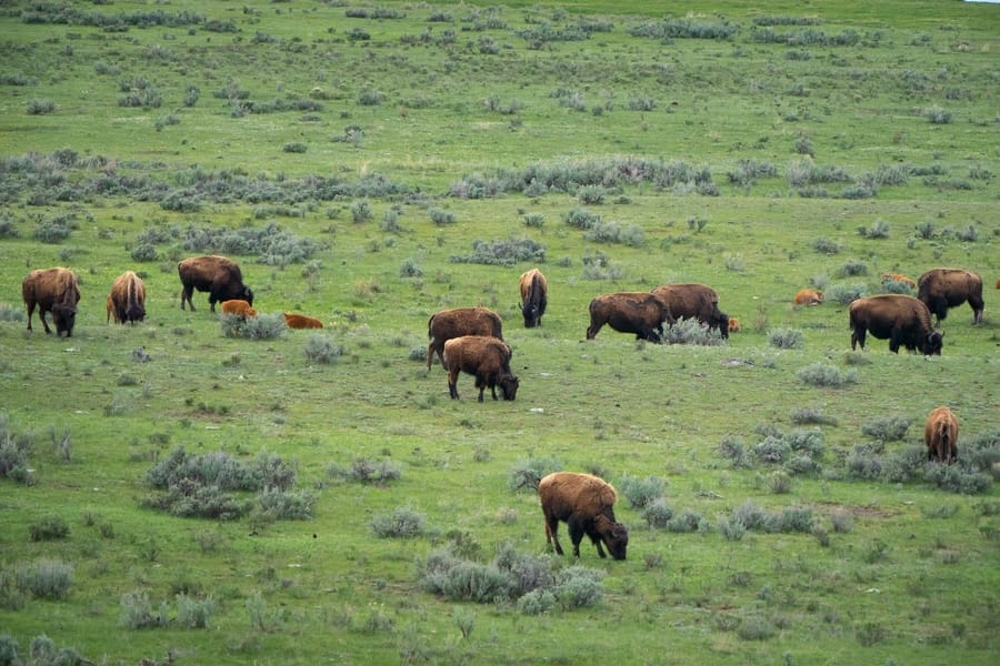 See animals in Hayden Valley, things to do at Yellowstone
