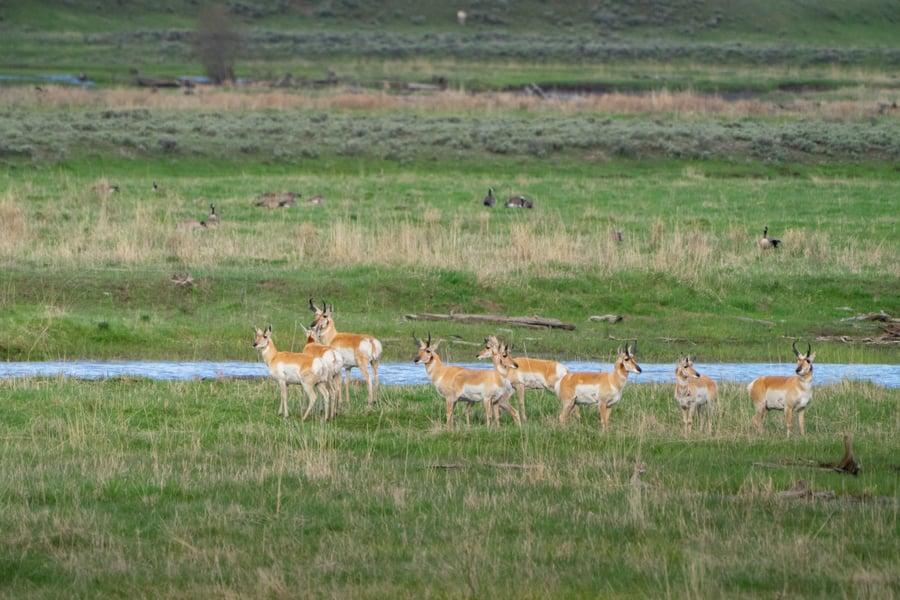 Pronghorn wildlife in yellowstone