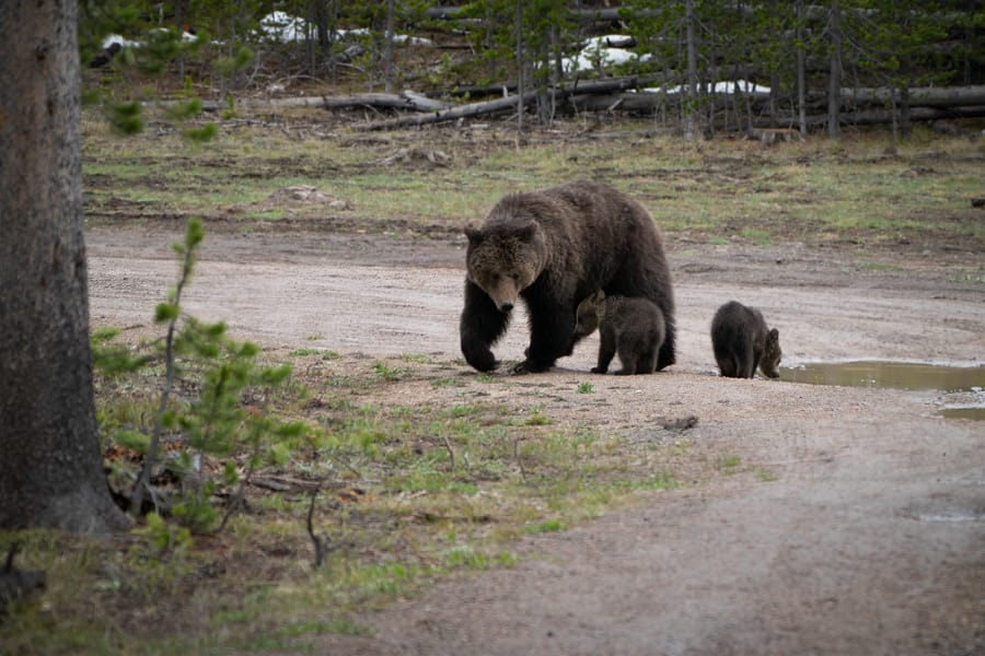 grizzly mum bear and cubs yellowstone