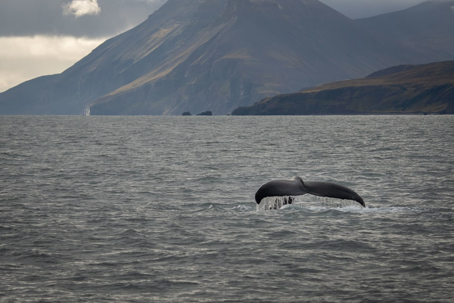 Best place to whale watch in Iceland