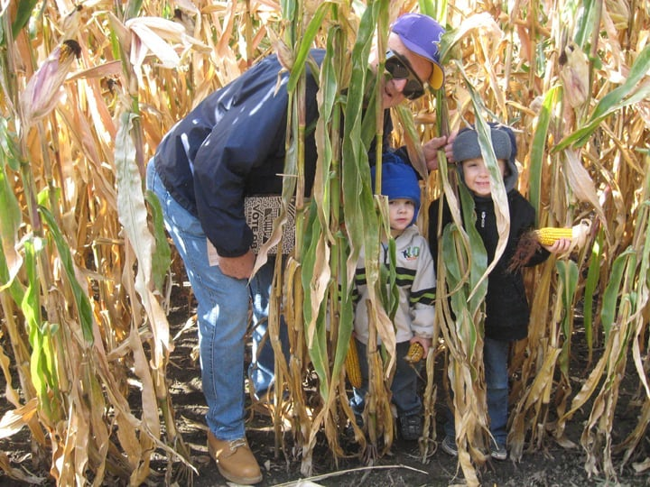 A view from inside the corn maze at Sever's Fall Festival: A man and two small boys peek out from behind tall corn stalks.