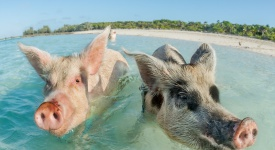 In Big Major Cay, the Exumas, you can get very close to the famous swimming pigs. Bahamas, December
