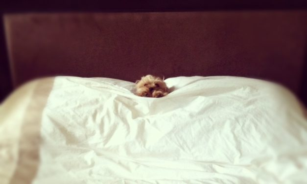 Bedtime for this yorkie, west village, NYC