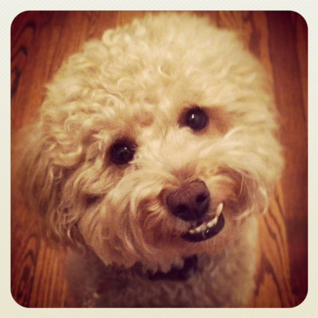 Poodle smile, Chelsea, NYC