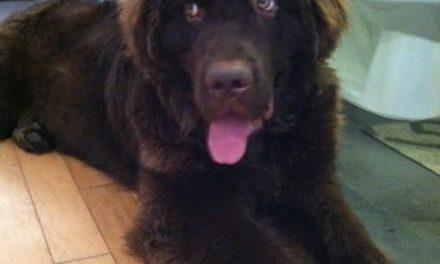 Puppy Newfie!!!