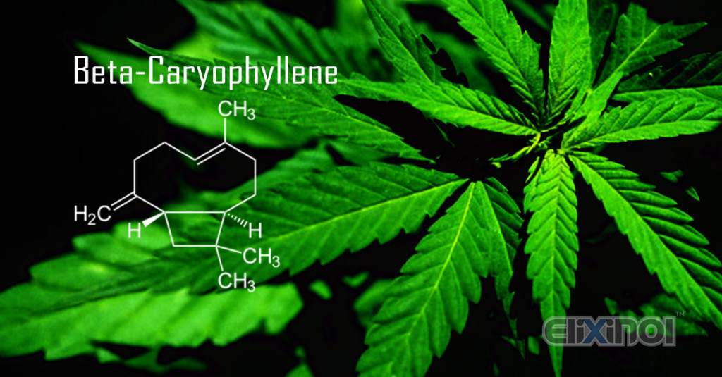 Beta-Caryophyllene in Cannabis