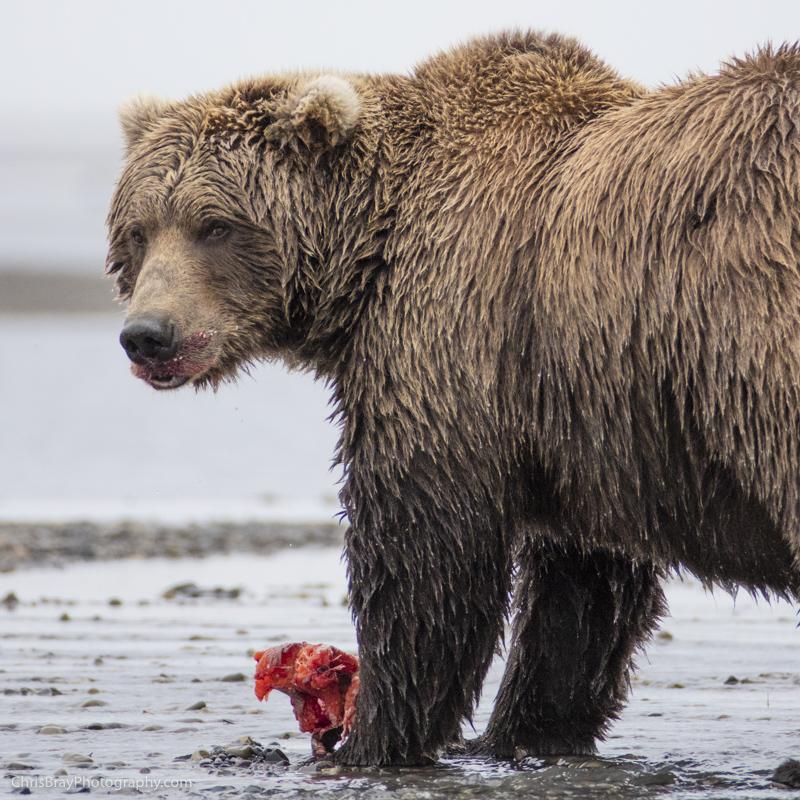chris-bray-bears-box-0011