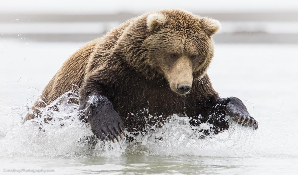 chris-bray-bears-0005