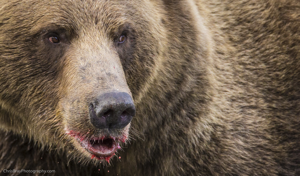 chris-bray-bears-0004