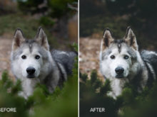 Loki the Wolfdog Lightroom Presets