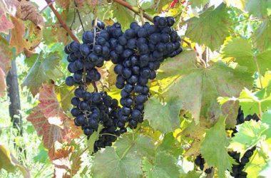 Frontenac Point Vineyard