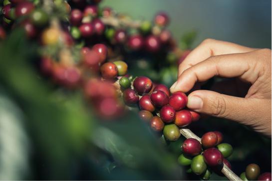 Bioseguridad en recolección del café.