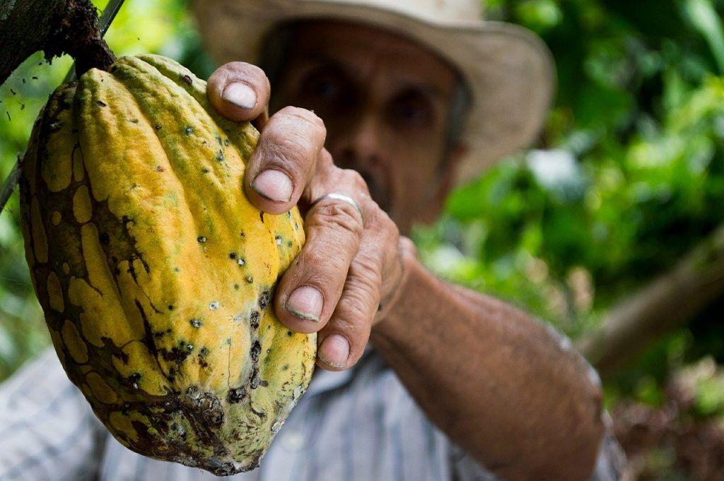 Renovación de cacao envejecido en Colombia