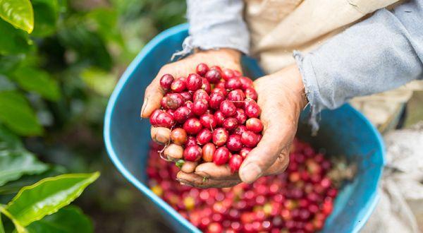 Empieza la cosecha de café en el Suroeste antioqueño